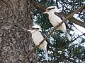 Kookaburra's at Shelly Beach on the Wednesday, 6th August 2008 at 12-19pm. - panoramio.jpg