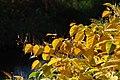 Korina 2014-10-28 Fallopia japonica.jpg