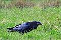 Korp Common Raven (20164764849).jpg