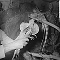 Kraaghagedis in Artis uit Nieuw-Guinea, Bestanddeelnr 914-3708.jpg