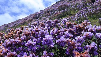 Strobilanthes kunthianus - A hillside with mass flowering in 2018