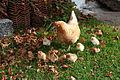 Kycklingar800.jpg