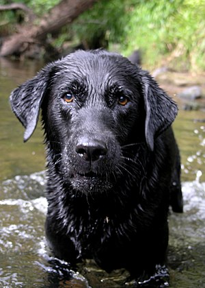 A black Labrador Retriever named Cooper.