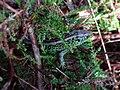 Lacerta agilis (Lacertidae) (Sand Lizard) - (male adult), Molenhoek, the Netherlands.jpg