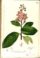 Lagerstroemia reginae Blanco2.314-original.png