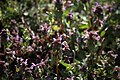 Lainzer Tiergarten März 2014 Purpurrote Taubnesseln (Lamium purpureum) Schwebfliege (Syrphidae) a.jpg