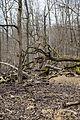 Lainzer Tiergarten Totholz 1.jpg