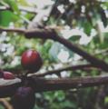 Lampungnese coffee.png
