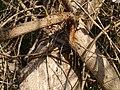 Lannea coromandelica (11543803215).jpg