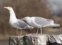 Larous glaucescens - glaucous-winged gull on Fraser River.jpg
