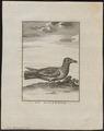 Larus glaucus - 1700-1880 - Print - Iconographia Zoologica - Special Collections University of Amsterdam - UBA01 IZ17900230.tif