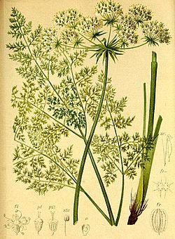 Laserpitium hirsutum Atlas Alpenflora.jpg