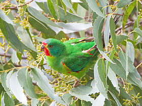 Swift Parrot perched in eucalypt foliage