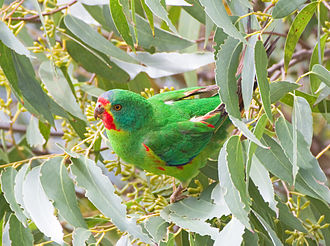 Ulladulla to Merimbula Important Bird Area - The IBA is an important site for swift parrots