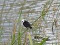 Lavadeira-de-cabeça-branca (Arundinicola leucocephala) é uma ave passeriforme da família dos tiranídeos, com ampla distribuição no Brasil e países adjacentes, em pântanos e lagoas. - panoramio.jpg