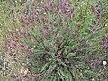 Lavandula pedunculata 1.JPG
