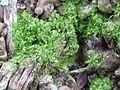 Lejeunea trinitensis — Scott Zona 003.jpg