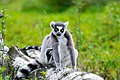 Lemur (37140357582).jpg