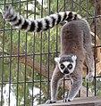 Lemur catta handstand.jpg
