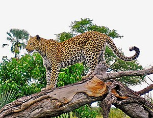 Leopard on tree stump