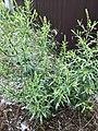 Lepidium densiflorum plant (05).jpg