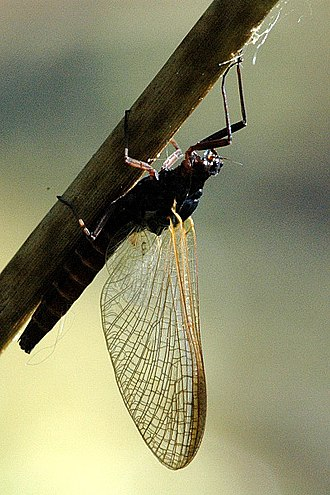 Mayfly - Subimago of Leptophlebia marginata