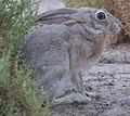 Lepus capensis arabicus-cropped.jpg