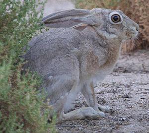 Cape hare - Image: Lepus capensis arabicus cropped