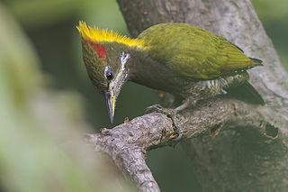 Lesser yellownape species of bird