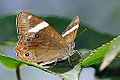 Lethe insana formosana female 20140705.jpg
