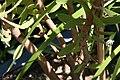 Leucadendron overig Safari Goldstrike 2zz.jpg