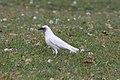 Leucistic American Crow (Corvus brachyrhynchos) (4153920337).jpg