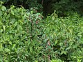 Leycesteria formosa001.jpg