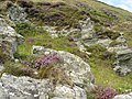 Lichen and heather on near Shroove - geograph.org.uk - 910174.jpg