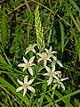 Liliaceae - Ornithogalum narbonense (0).JPG