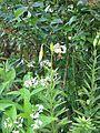 Lilium cf. ledebourei - Flickr - peganum (9).jpg