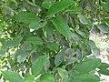 Lime - ചെറുനാരകം 05.JPG