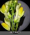 Linaria vulgaris (s. str.) sl9.jpg