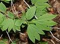 Lindera triloba (leaf s4).jpg