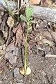 Lindera triloba (seedling s3).jpg