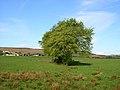 Line of Trees near Overton Farm - geograph.org.uk - 170251.jpg