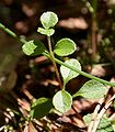 Linnaea borealis w PNBT 03.07.10 2p.jpg