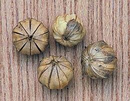 Linum usitatissimum seed capsules, vlaszaaddozen.jpg