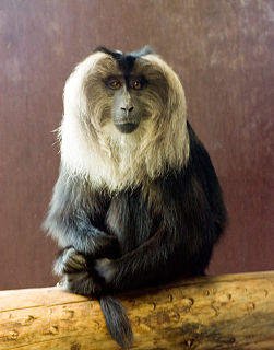 Lion-tailed macaque Old World monkey