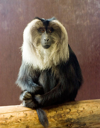 Wildlife of Tamil Nadu - Endangered lion-tailed macaque