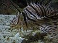 Lionfish (3832203823).jpg