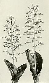 Liparis liliifolia WFNY-f014.jpg