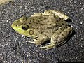 Lithobates catesbeianus on the road - 1.jpg