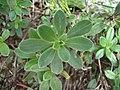 Lithodora oleifolia 2.JPG