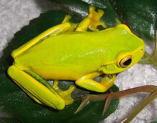 Litoria gracilenta-2
